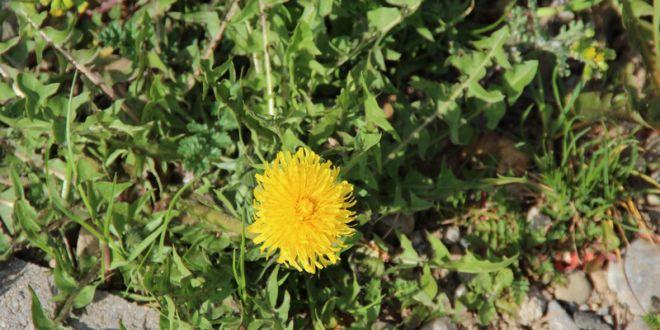 Désherbants naturels : 10 Alternatives écologiques au Roundup