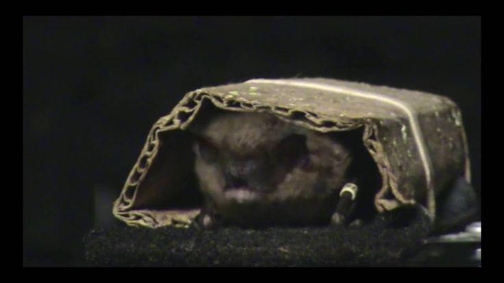 Demonstration of bat head waggle. http://www.batsrule.info/2016/11/adorable-way-bats-catch-prey.html