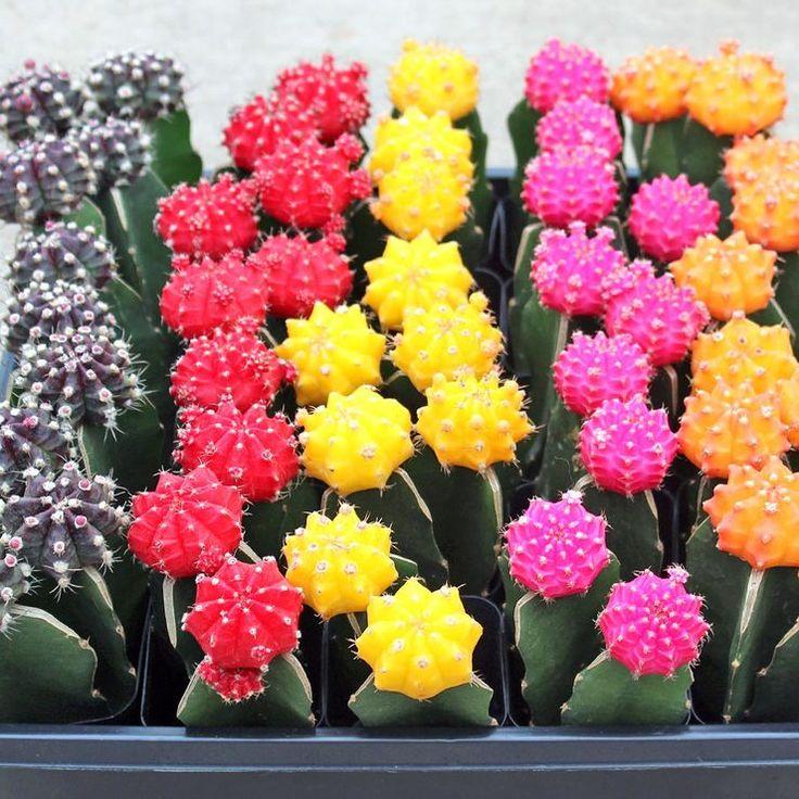 Gymnocalicium Mihanovichii - Grafted Cactus - Cuttings - Mountain Crest Gardens