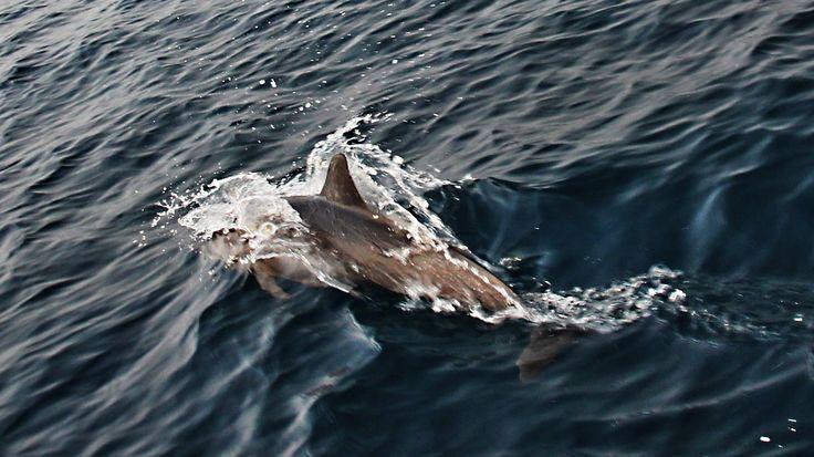 Delfíni z Kakabanu. Indonésie. Kalimantan (Borneo)
