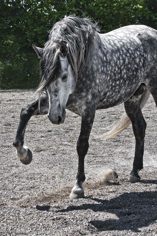Andalusian Lusitano Lippizzaner spanish horse Piccador Vaquero Charro Love these dapples