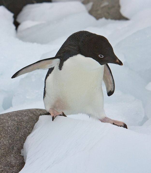 Adélie Penguins | Community Post: In Case You Were Worried That You'd Forgotten Every Type of Penguin