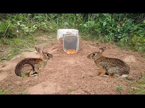 How to catch Wild Rabbit use Spring Trap |  Amazing Quick Rabbit Trap in Cambodia - Best Rabbit trap - YouTube
