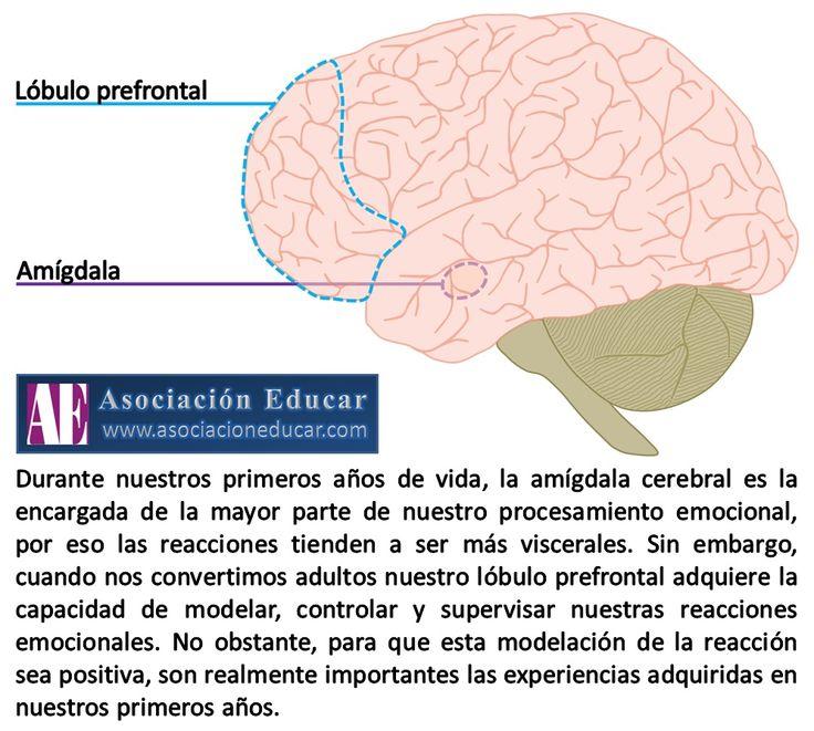 Amígdala - Lóbulo prefrontal. - Asociación Educar - Ciencias y Neurociencias aplicadas al Desarrollo Humano - www.asociacioneducar.com