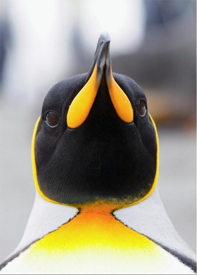 King Penguin, Salisbury Plain, South Georgia. By Sjoerd van Berge Henegouwen.