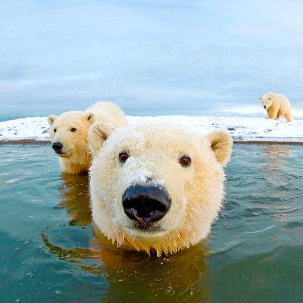 "EastmanHouse on Twitter: ""Polar Bears coming up to say hi 