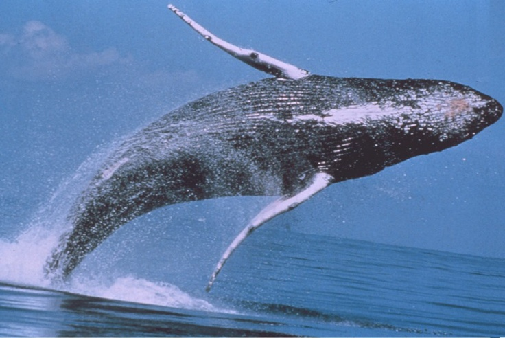 Humpback Whale - Monterey  Whale Watching, California