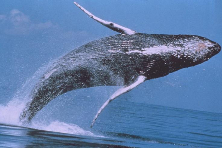 Humpback Whale - #Monterey  #WhaleWatching #California #VisitCA