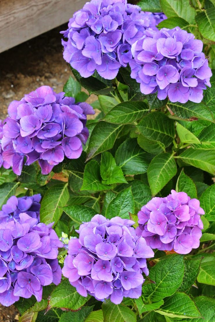 50 best Perennials in front of house images on Pinterest ...
