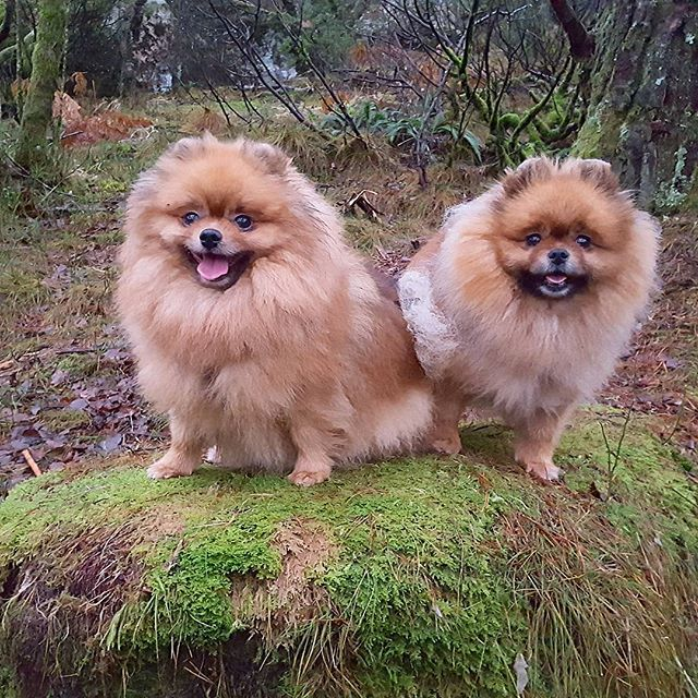 Two beautiful  ladies on new paths 🤗 #dogsofinstaworld  #pomeranianworld #petsoriginal #petoftheday #pomsarethebest  #pompom #TopDogPhoto #thedailypompom  #weeklyfluff #mylilbuddy #my_loving_pet #mybreedrocks  #paws #dogscorner #happyface #supercute #verdensbeste  #doginnature #hikingwithdogs #hikingadventures #divinepoms #outdoor  #ekstremturglede #