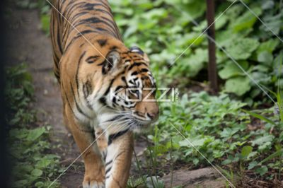 tiger approaching wire fence - Tiger walking towards wired fence.