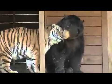 A bear, tiger and lion live together at Noah's Ark Sanctuary.  Amazing! :)