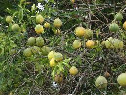 #Curiamoci con quel che #natura ci offre, per i #capelli noi proponiamo un agrume http://maxroot.it/ricrescita-capelli-vitamina.html