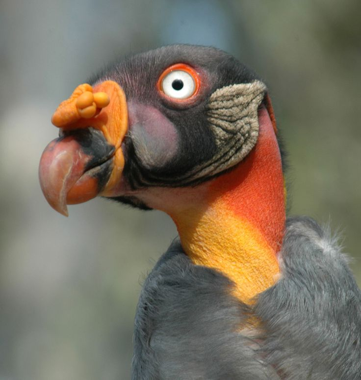 - King Vulture - Found in Rain Forests - Stunningly Colored -