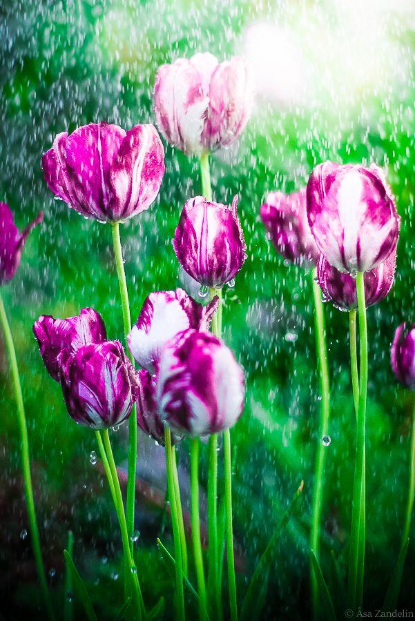 Rain on Tulips Photo by Åsa Zandelin