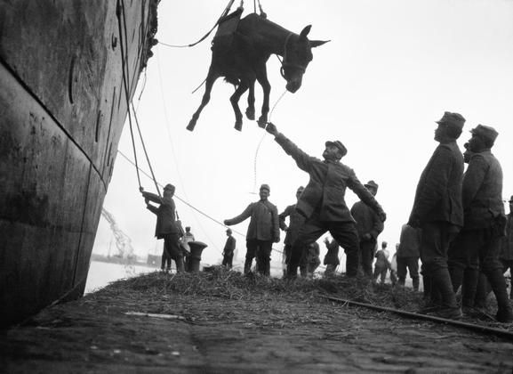 ANIMALS DURING FIRST WORLD WAR Millions of horses and mules died, and were shipped from many countries to France