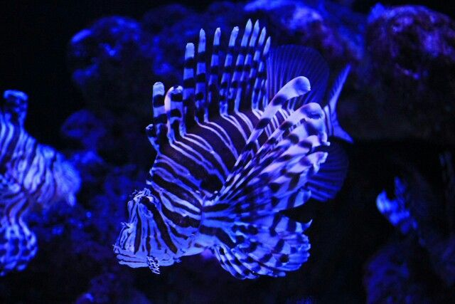 Lion fish, AQWA, Australia
