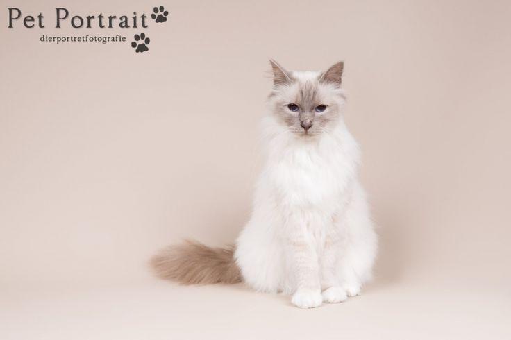Kattenfotograaf Hillegom - Fotoshoot voor een Heilige Birmaan en een Ragdoll-1