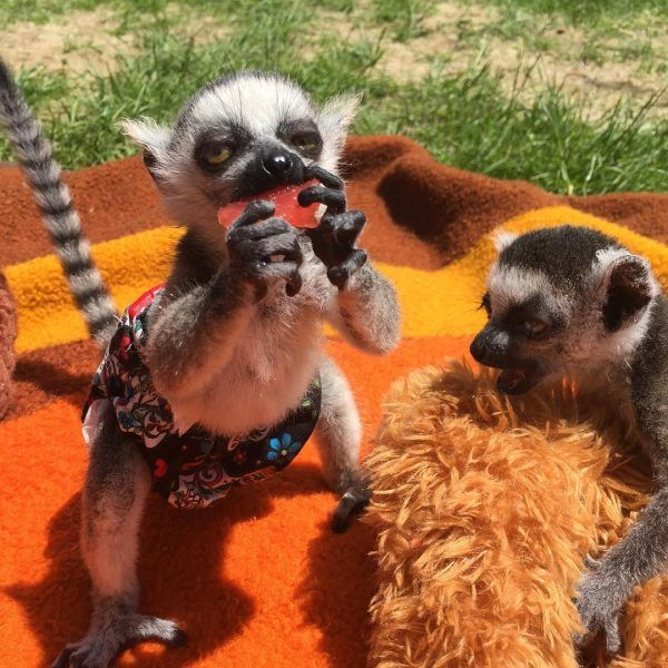 Lemurs Dieren