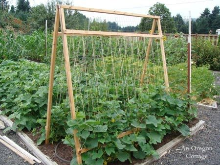 Do you let your cucumbers sprawl on the ground? Find out 5 reasons to grow cucumbers on a trellis and have your best crop yet!