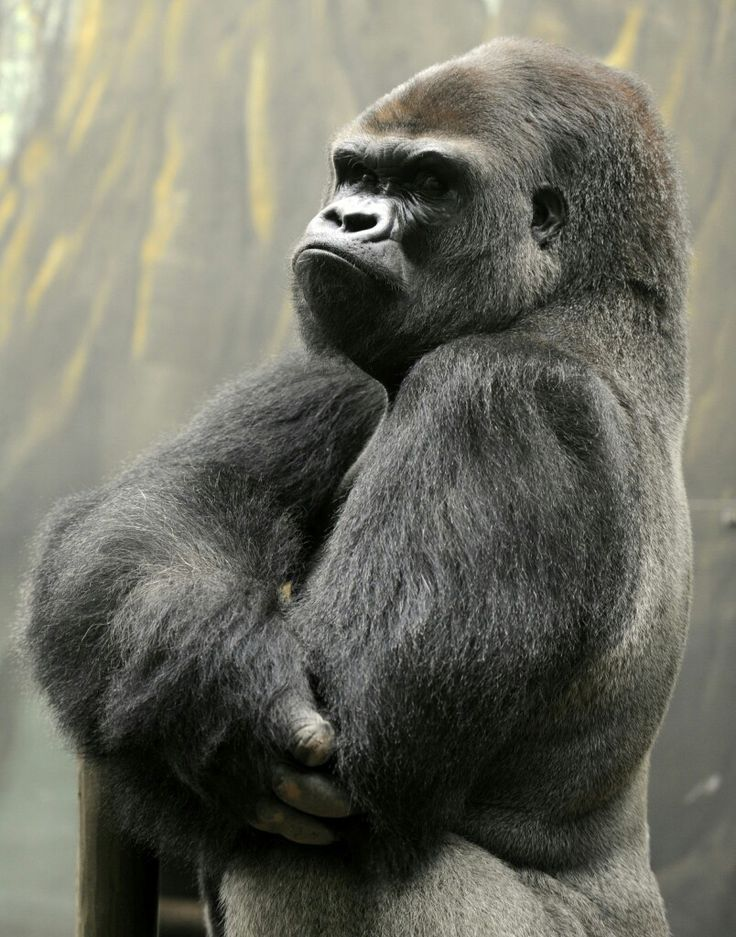 """Ya Kwanza, a silverback gorilla stands in the """"Gorilla's Camp"""" enclsure at the Amneville zoo in France"""