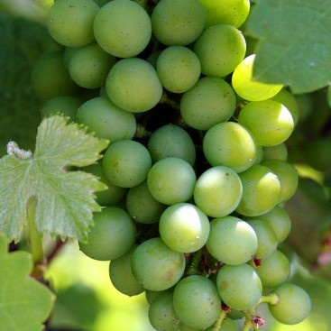 Manfaat Buah Anggur Bagi Kesehatan Kulit