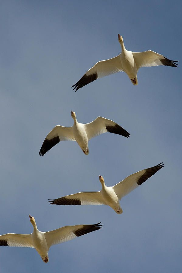 Snow Goose... The name is easy to rennet if you know their color