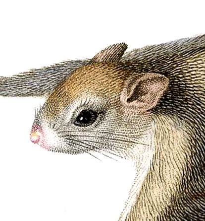 Flying Squirrels Essay examples