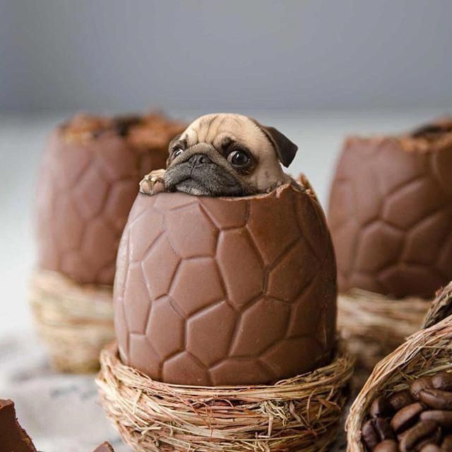 Eat A Chocolate Dinosaur Pug Baby Pugs