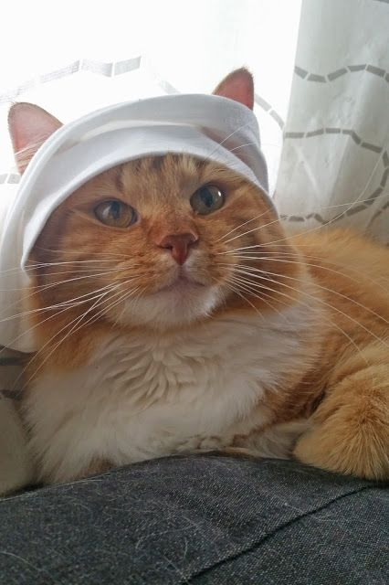 ... Cats on Pinterest | Turkish angora cat, Tuxedo cats and Maine coon