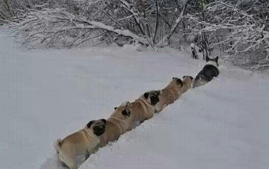 A corgi leading a line of conga pugs on adventure http://ift.tt/2dhDZ0n