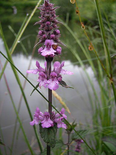 Název: Čistec Latin. název: Stachys palustric Čeleď: hluchavkovité  Latin. čeleď: Lamiaceae
