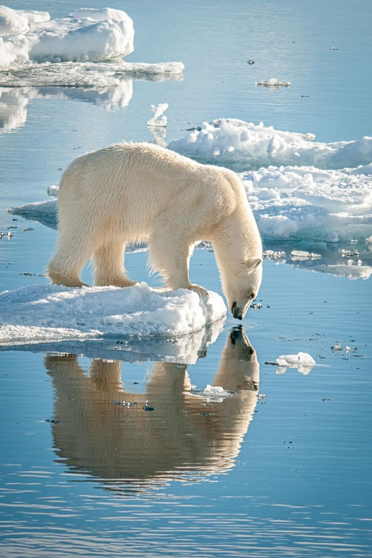 I am beautiful! (One of the beautiful ice bears of Svalbard.) - by Judith Conning -- [REPINNED by All Creatures Gift Shop]  No snow!