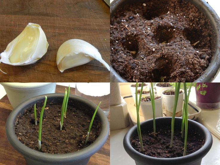 Grow garlic indoors using a clove from the grocery store - learn more about growing food from kitchen scraps on the Birds & Blooms Blog!