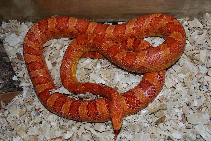 Amel Corn Snake Snakes Pinterest Snakes Wallpapers