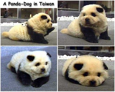 Panda dogs seem to be a trend in places like Japan, China and Taiwan. at first I thought it was breeding, but it's fur dye.