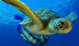 La tortuga verde es grande, con un caparazón de hasta 3 metros de largo. Las tortugas verdes pesan hasta 350 kilos y su caparazón puede ser de muchos colores, incluyendo tonos de negro, gris, verde, marrón o amarillo. Tortugas verdes adultas son las únicas tortugas herbívoras. Cuando joven, son carnívoros, pero los adultos que comen algas y pastos marinos. Se encuentran en aguas tropicales y subtropicales de todo el mundo