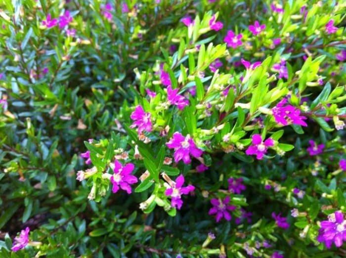 Fast Growing Mexican Heather Plants Heather Plant Cuphea Plant Purple Flowering Plants