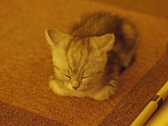 sleepy kitten うとうと…