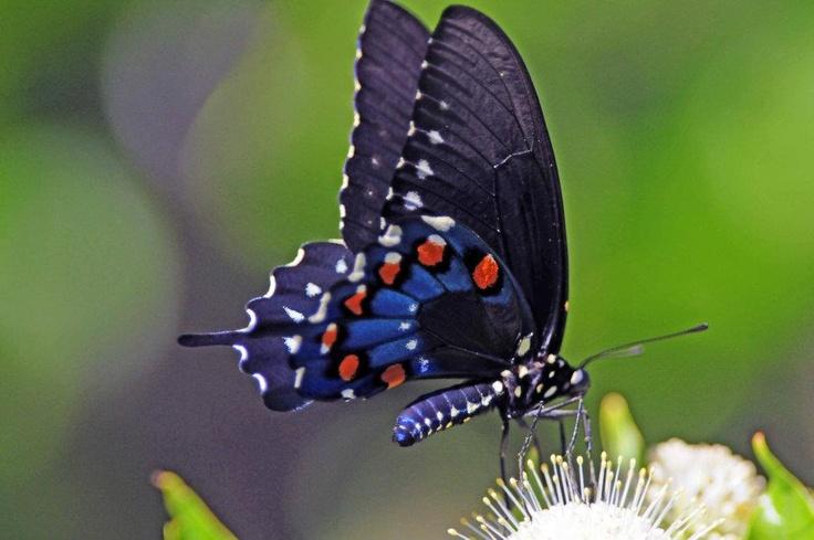Eb butterfly disease
