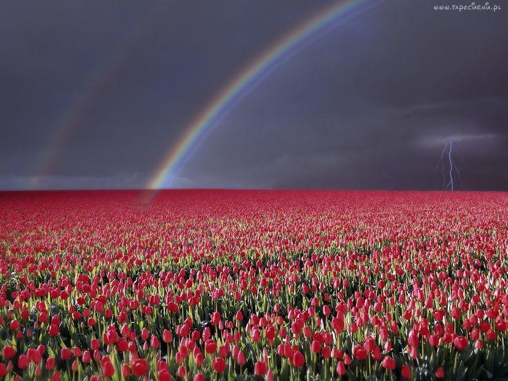 Błyskawica, Tęcza, Pole, Tulipanów