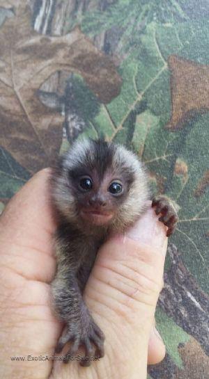 Monkeys For Sale