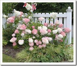 """Vanilla Strawberry Hydrangea"" is breathtaking to me.  Ever since I found it in my Country Garden magazine I have fallen in love with it. It looks so good along this white picket fence!"