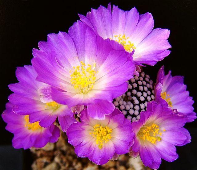 Mammillaria luethyii - Foto: Hugo De Cock