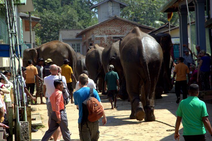 Pinalawella Elephant in the street