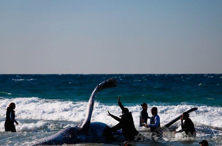 豪クイーンズランド(Queensland)州ゴールドコースト(Gold Coast)のパームビーチ(Palm Beach)で、座礁したザトウクジラの救出活動にあたるシーワールド(Sea World)の職員ら(2014年7月9日撮影)。(c)AFP/PATRICK HAMILTON ▼10Jul2014AFP|豪砂浜に子クジラ座礁、2日かけ救出成功 http://www.afpbb.com/articles/-/3020198 #Palm_Beach #Humpback_whale #Megaptera_novaeangliae #Baleine_a_bosse #Buckelwal #Bultrug #Dlugopletwiec #Baleia_jubarte #Knolkval #Ryhavalas #Knolval #Pukkelhval #Hnufubakur #Xibarta #Miol_mor_dronnach #Kambur_balina #Paus_Bungkuk