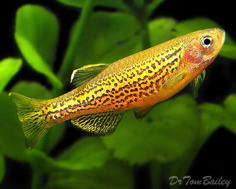 Best 25 aquarium fish ideas on pinterest tropical fish for Colorful freshwater fish for sale