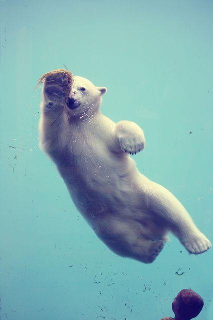 Swimming polar bear - schwimmender Eisbär