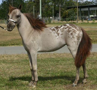 Larapinta Miss Fantasy Cool - - that is an awesome pattern/color! But I've never understood the attraction of mini horses - sort of defeats the purpose, doesn't it?