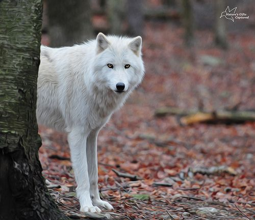 Arctic Wolf by Tami Hrycak